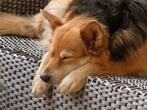 perro_durmiendo