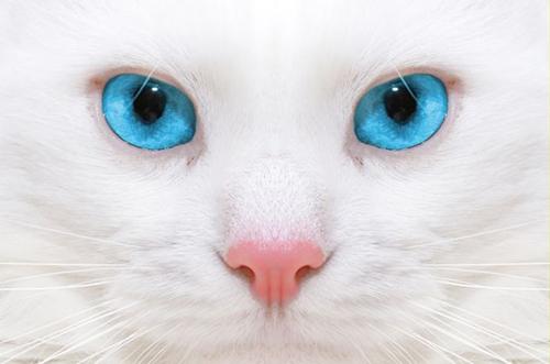 gato ojo azul